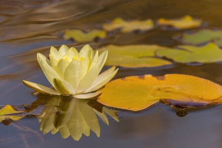 White water lily flower on water surface Stock Photo