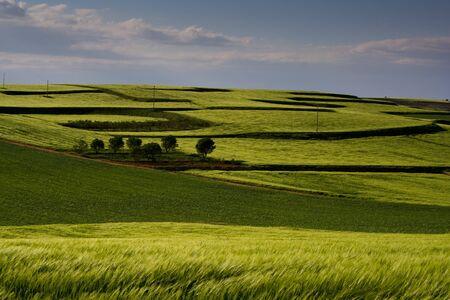 Champ de blé vert, Espagne