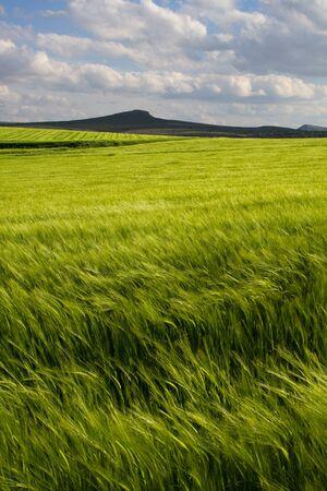Champ de blé vert, Espagne Banque d'images - 11638506