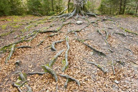 centenarian: tree with big roots in Ordesa National Park, Pyrenees, Spain Stock Photo