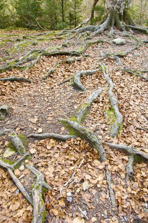 tree with big roots in Ordesa National Park, Pyrenees, Spain Stock Photo - 5872012