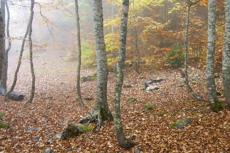 autumnal beech trees in the valley of Ordesa, Pyrenees, Spain Stock Photo - 5884950