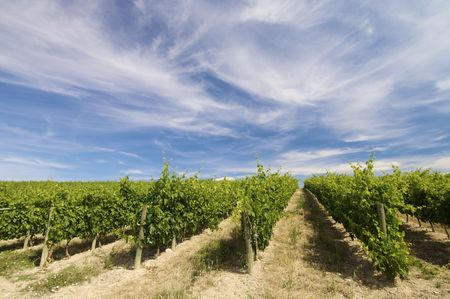 viticultura: vineyard with clouds in Rioja, Spain