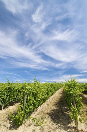 vineyard with clouds in Rioja, Spain photo