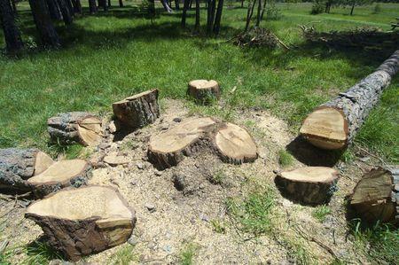 boom kappen: beplanten in een mooie pine forest Stockfoto