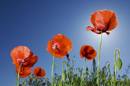 group of poppies with blue sky photo