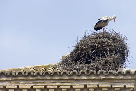 lone white stork in its nest photo