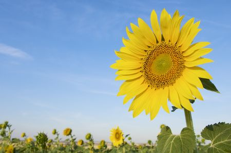 sunflower with blue and clear sky photo