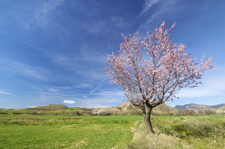 almond blossoms in a meadow green Stock Photo