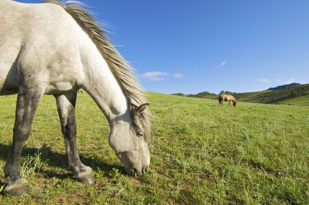 horses grazing in a meadow in Mongolia photo