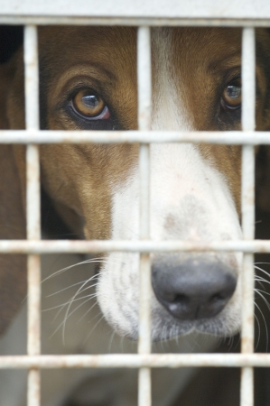 beagle mix: closeup of a dog cage