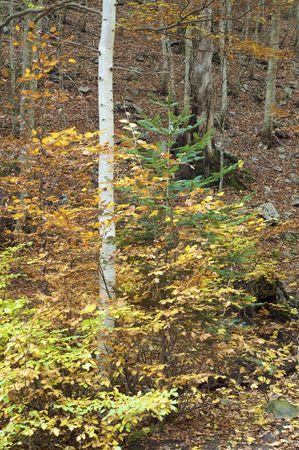 ordesa: autumnal beech trees in the valley of Ordesa, Pyrenees, Spain