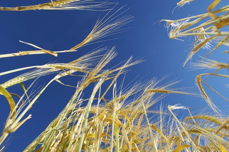 grain on a clear day Stock Photo - 6183669