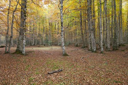 ordesa: autumnal beech forest in the national park Ordesa, Pyrenees, Spain