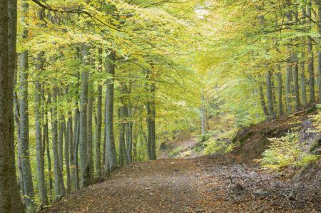 Path in beech forest in autumn, Moncayo natural park, saragossa, Aragon, Spain photo