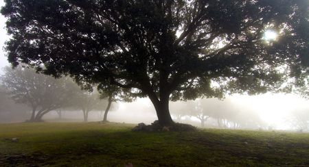 forest of oak through the fog photo
