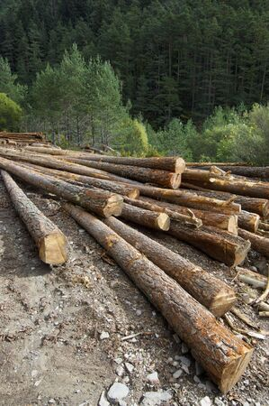 felled: group of pine logs felled in a forest Stock Photo