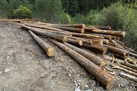 tree felling: group of pine logs felled in a forest Stock Photo