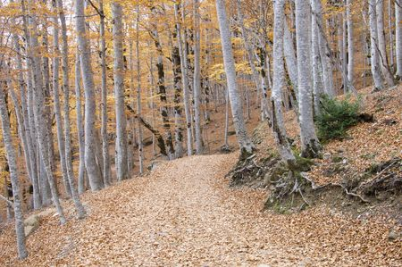 a forest road in autumn, Ordesa national Park, Spain photo