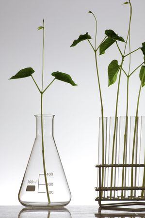 scientifical: plant growing in a laboratory flasks with a white background