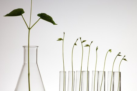 food research: plant growing in a laboratory flasks with a white background