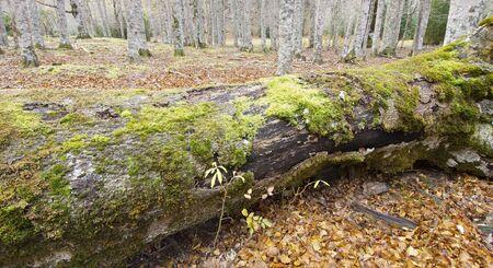 ordesa: fallen trunk in the woods of Ordesa Valley National Park, Pyrenees, Spain