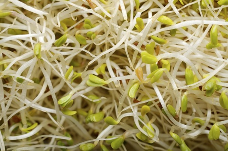 forefront of a group of alfalfa sprouts photo