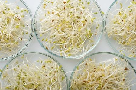 transgenic: transgenic culture samples in a petri dish Stock Photo