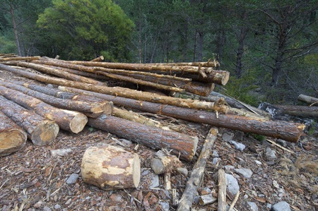 group of pine logs felled in a forest, Anso valley, Pyrenees, Huesca, Aragon, Spain photo