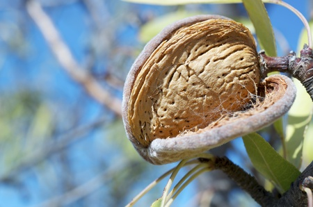 almond tree: forefront of a nut hanging from a tree branch in Spain