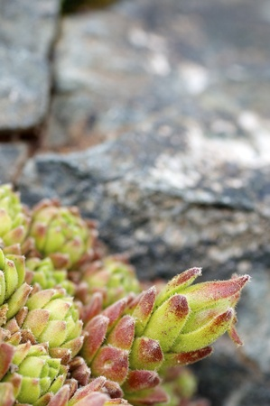 foreground of a mountain flower, named Sempervivum montanum, Canal  Roya, Pyrenees, Huesca, Aragon, Spain photo