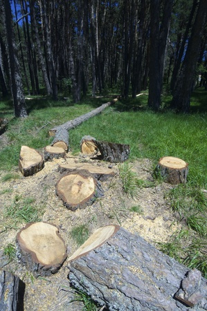 felled: felled in a beautiful pine forest in the Pyrenees, Huesca, Aragon, Spain