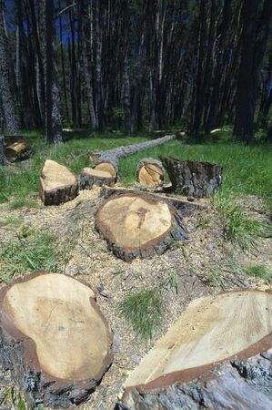 felled in a beautiful pine forest in the Pyrenees, Huesca, Aragon, Spain photo