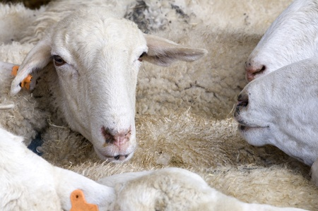 agglomeration: aglomeration in a flock of sheep Stock Photo