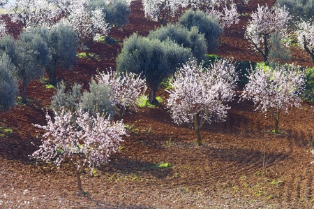 almond tree: field of flowering almond and olive trees