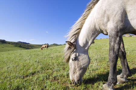 horses grazing in a meadow, Gorkhi-Terelji National Park, Mongolia photo