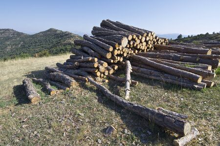 group of pine logs cut in the Pyrenees photo