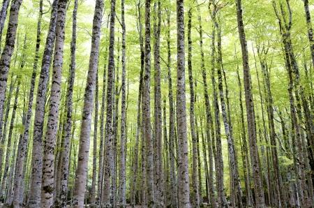 ordesa: beech forest  in Ordesa National Park, Pyrenees, Huesca, Aragon, Spain Stock Photo
