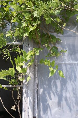foreground of ivy on an old wooden window photo