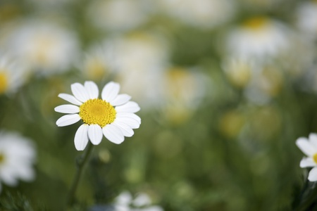 forefront of a field of daisies on a sunny day photo