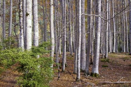 ordesa: trunks of a beech forest in autumn, Ordesa National Park, Pyrenees, Huesca, Aragon, Spain