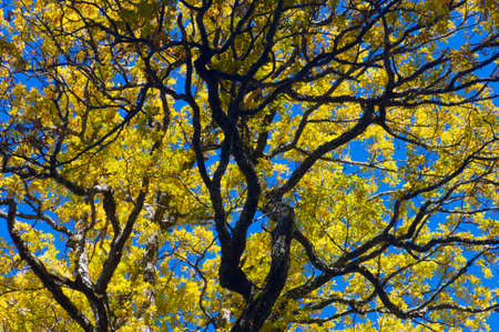 pyrenees: closeup of a tree autumn with yellow leaves in the valley of Aspe, Pyrenees, France