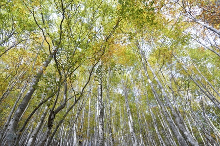 autumnal beech trees in the valley of Ordesa in Aragon, Spain photo