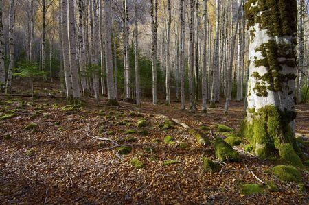 ordesa: beech forest in the Ordesa National Park, Pyrenees, Huesca, Aragon, Spain