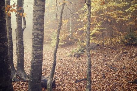 ordesa: Autumnal beech trees in the valley of Ordesa National Park, Pyrenees, Huesca, Aragon, Spain.