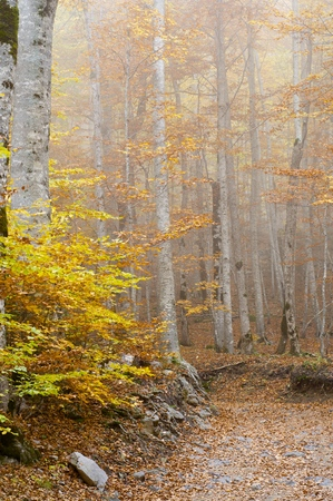 autumnal beech trees in the valley of Ordesa, Pyrenees, Spain