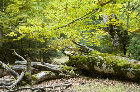 Beech trees in the valley of Ordesa, Pyrenees, Huesca, Aragon, Spain photo