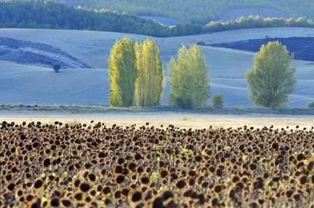 Sunflowers and trees, Cuenca province, Cuenca, Castilla La Mancha, Spain. photo