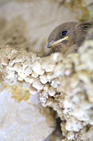 Babie: chicks of the species known as crag in a nest, Huesca, Aragon, Spain.