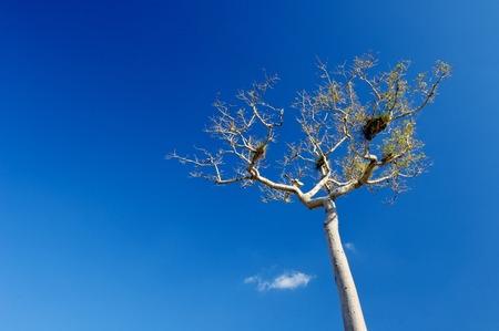 caribbean Ceiba pentandra tree with blue sky in Cuba island.